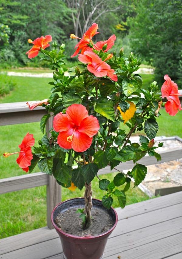 Hibiskus schneiden wann tropischer Hibiskus