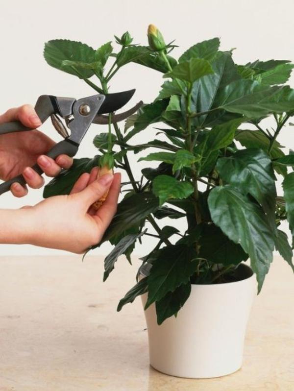 Hibiskus schneiden Zimmerpflanzen Pflege