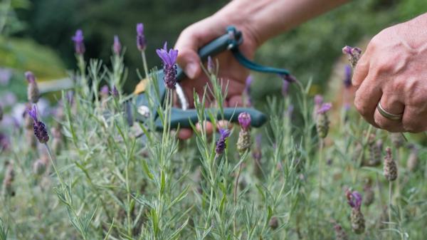 Lavendel schneiden Frühjahr Gartenpflanzen