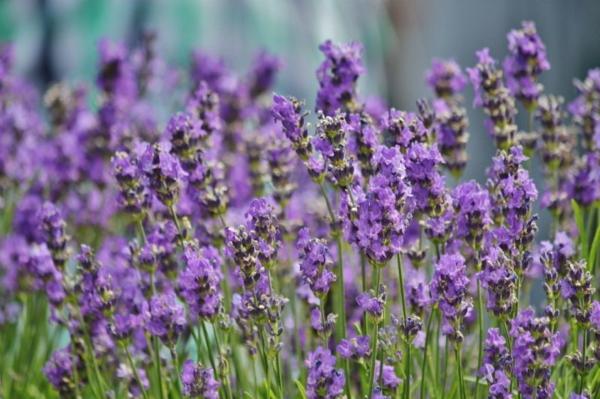 Lavendel schneiden wann Lavendel