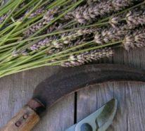 Lavendel schneiden: Was muss man darüber wissen?
