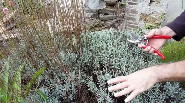 Lavendel schneiden wann Lavendelsorten Gartenpflanzen