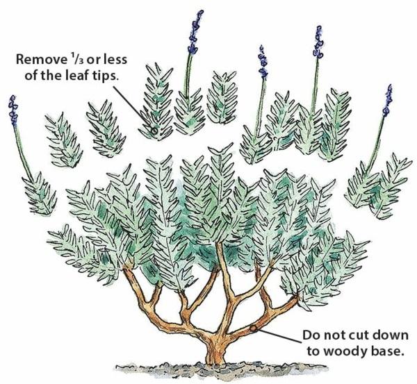 Lavendel schneiden wann Tipps