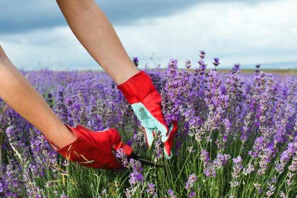Lavendel schneiden wann und wie
