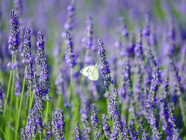 Lavendel wann schneiden Lavendelsorten Englischer Lavendel