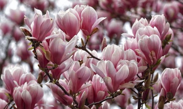 Magnolie düngen Frühling Tipps