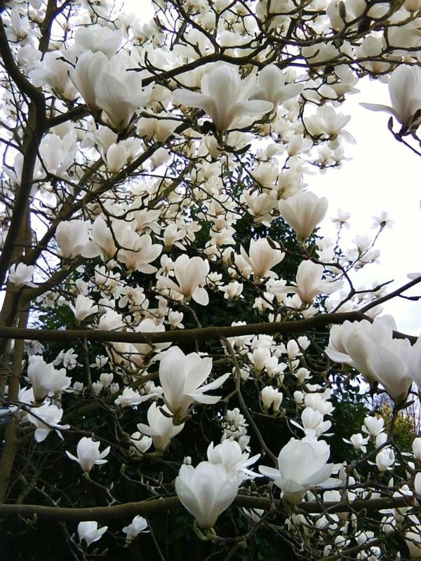 Magnolie düngen Frühling weiße Blüten