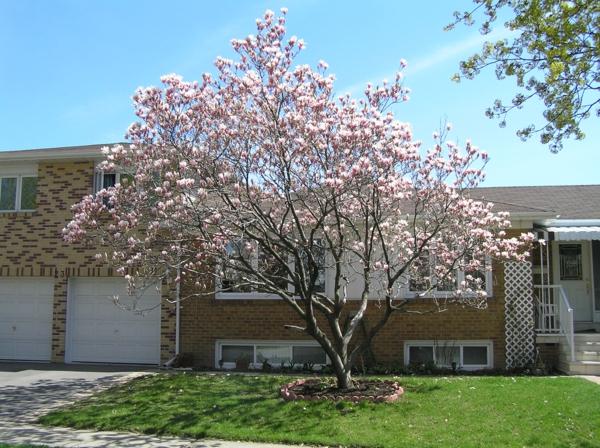 Magnolie düngen Magnolienbaum Garten
