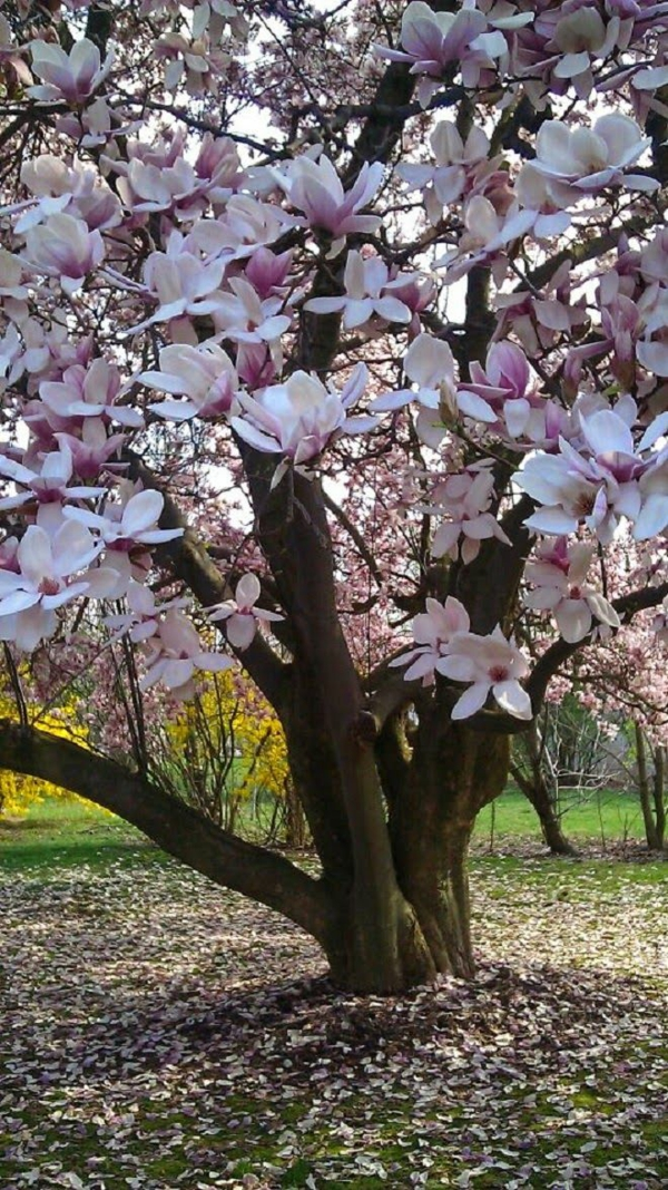 Magnolie düngen Magnolienbaum