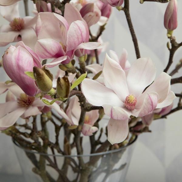 Magnolie düngen Magnolienblüten Vase