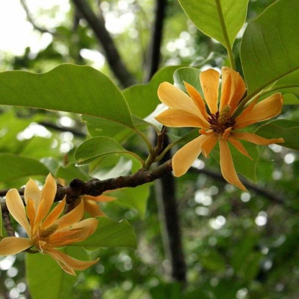 Magnolie düngen gelbe Blüten