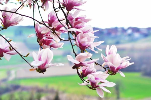 Magnolie düngen schöne Blüten natürlicher Dünger