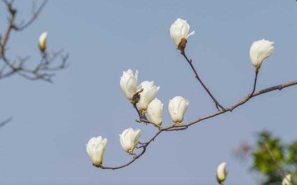 Magnolie düngen weiße Blüten Knospen