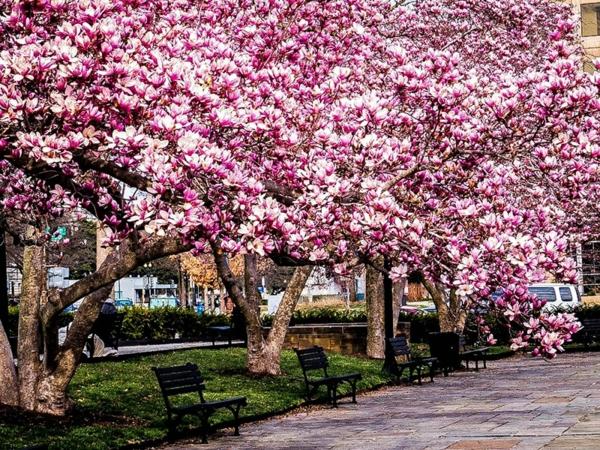 Magnolienbäume Park Grühling Magnolie düngen