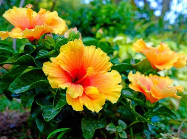 Wann Hibiskus schneiden Blüten Gartenhibiskus schneiden