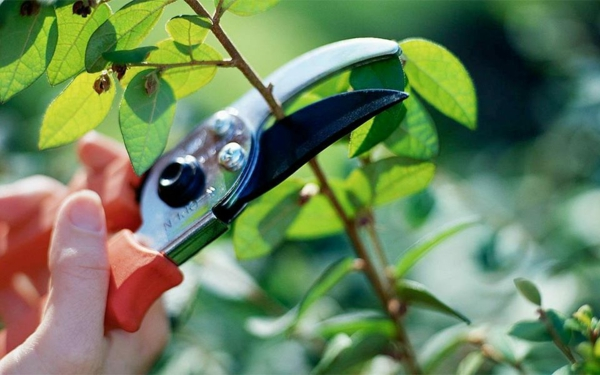 Wann Hibiskus schneiden Gartenhibiskus Pflege
