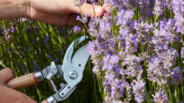 Wann Lavendel schneiden Gartenschere Lavendelsorten