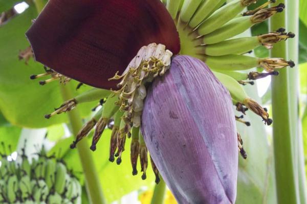 bananenblüte gesunder food trend
