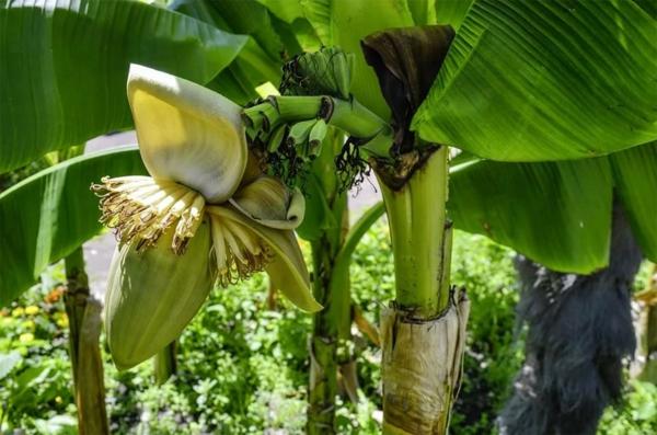 food trend bananenblüte
