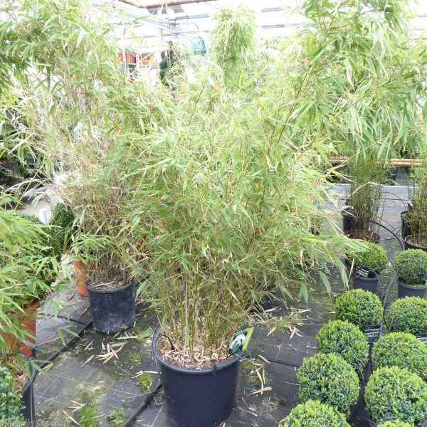 grüne garten ideen bambus im kübel