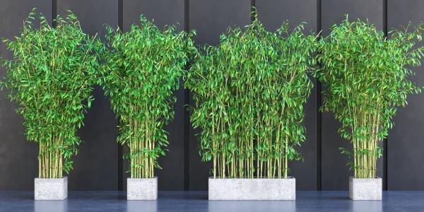 kübel bambus bambus im kübel