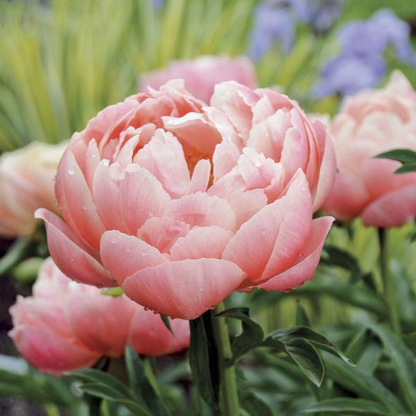 riesige Blüten Päonien Pfingstrosen