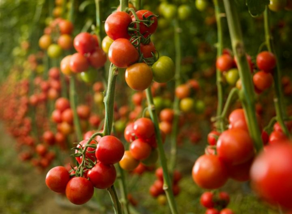 tomaten zum stoffwechsel anregen