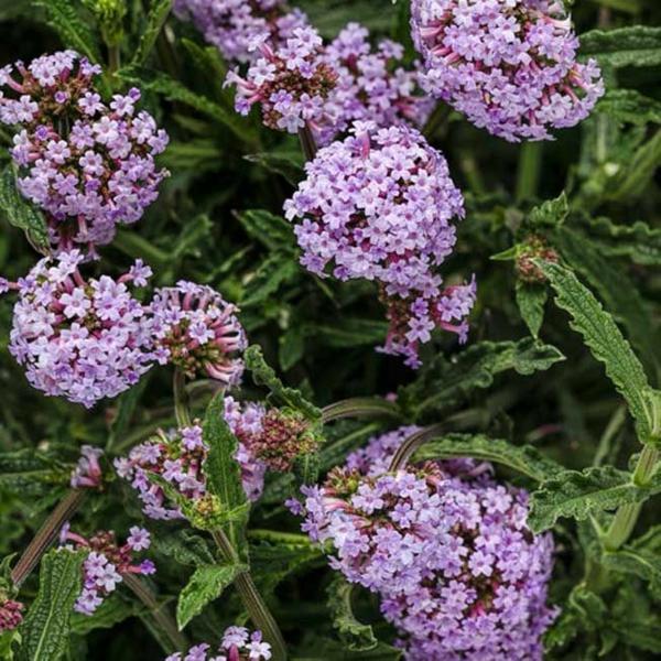 verbena eisenkraut bienenfreundliche stauden gartenpflanzen
