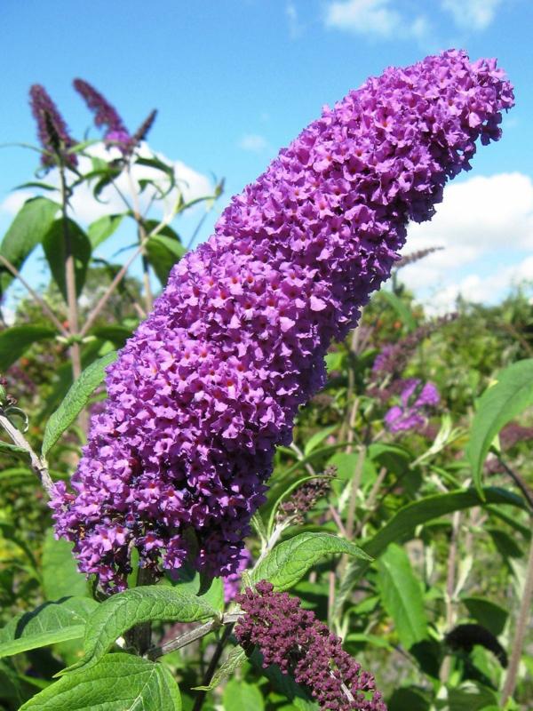 Blühende Sträucher Gartensträucher sommerblühende Stauden Buddleia davidii Blüten