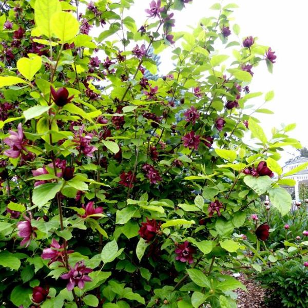 Blühende Sträucher Gartensträucher sommerblühende Stauden Echter Gewürzstrauch Calycanthus floridus