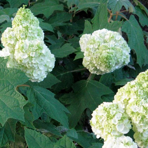 Blühende Sträucher Gartensträucher sommerblühende Stauden Eichenblättrige Hortensie Hydrangea quercifolia