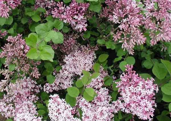 Blühende Sträucher Gartensträucher sommerblühende Stauden Kleinblättriger Herbstflieder Syringa microphylla
