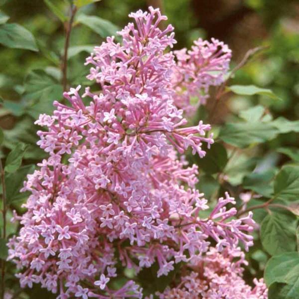Blühende Sträucher Gartensträucher sommerblühende Stauden Kleinblättriger Herbstflieder Syringa microphylla Blüten