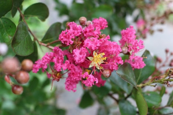 Blühende Sträucher Gartensträucher sommerblühende Stauden Kreppmyrte Lagerstroemia indica