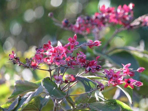 Blühende Sträucher Gartensträucher sommerblühende Stauden Losbaum Clerodendrum trichotomum