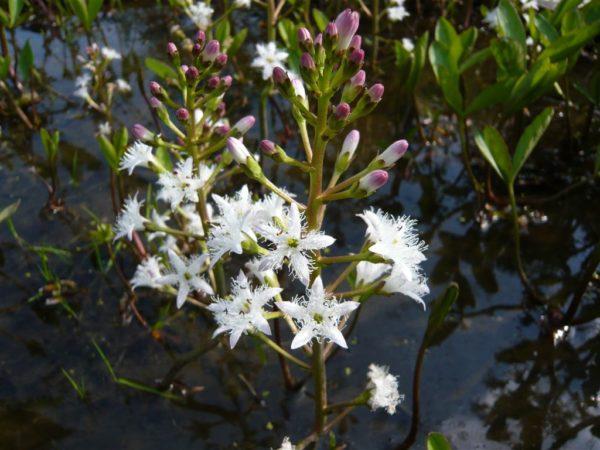 Pflanze des Jahres natürliche Heilmittel