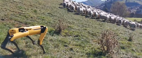 Roboterhund Spot von Boston Dynamics zeigt seinen neuen Fähigkeiten spot hüttet schafe