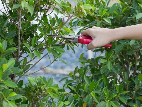 Schildläuse bekämpfen betroffene Gartenbäume beschneiden