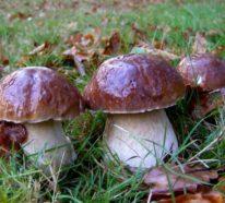 Steinpilze erkennen und zubereiten: Wissenswertes und Rezept für geschmorte Pilze