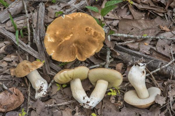 Steinpilze erkennen Wildpilze Pilze sammeln Tipps