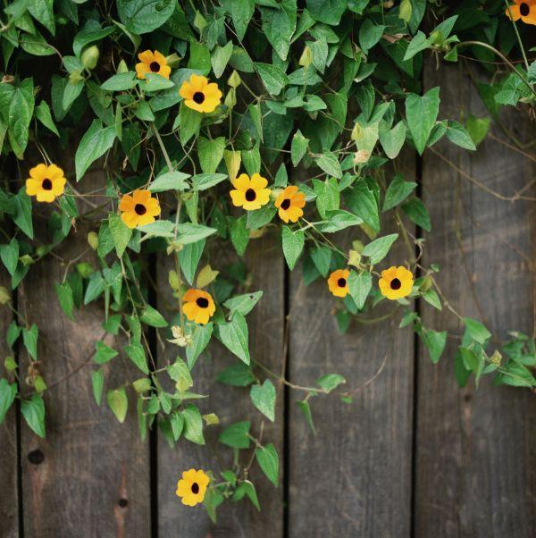 Wand mit schwarzäugiger Susanne Balkon bepflanzen