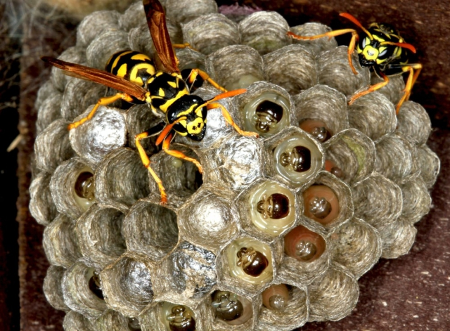 Wespennest entfernen Nest Waben die Wespenkönigin Eier ablegen