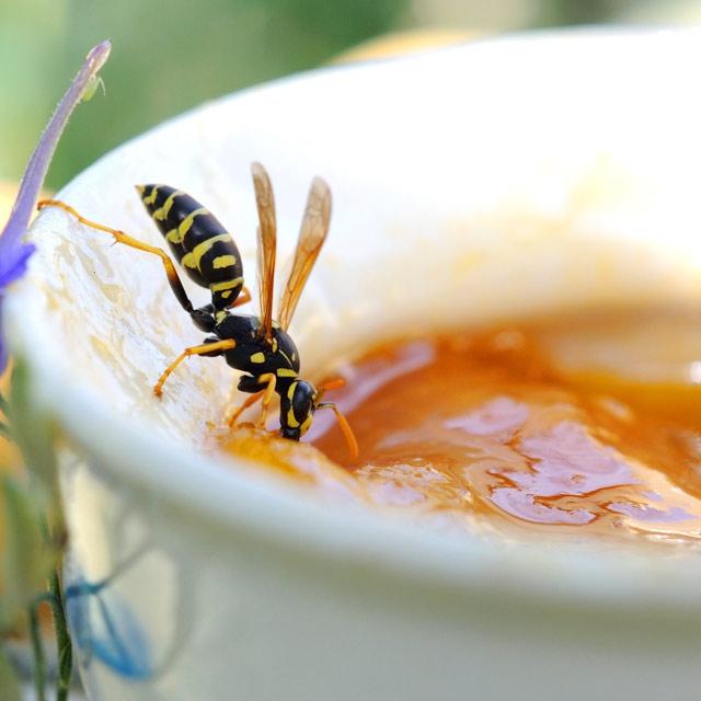 Wespennest entfernen Wespe auf Obstkuchen Nektar sammeln aber lästig für Kuchengenießer