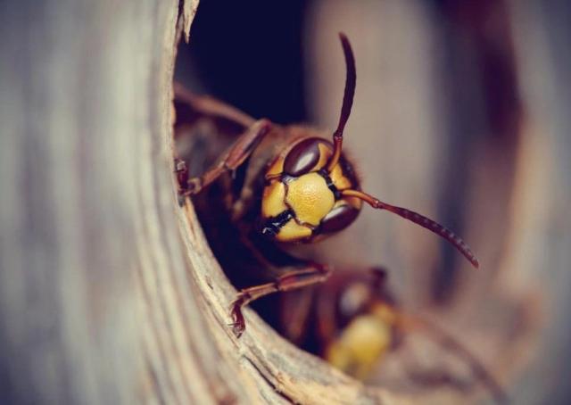 Wespennest entfernen Wespe bei drohender Gefahr stechen sich verteidigen