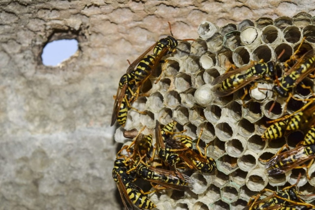 Wespennest entfernen Wespen friedliche Tiere lieber in Ruhe lassen