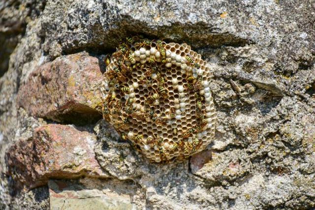 Wespennest entfernen an einer Steinmauer ein Nest Waben viele Wespen