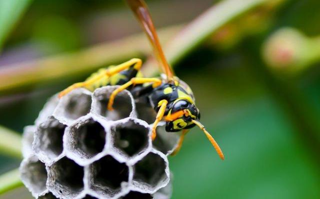 Wespennest entfernen im Sommer sind Wespen ungebetene Gäste im Garten