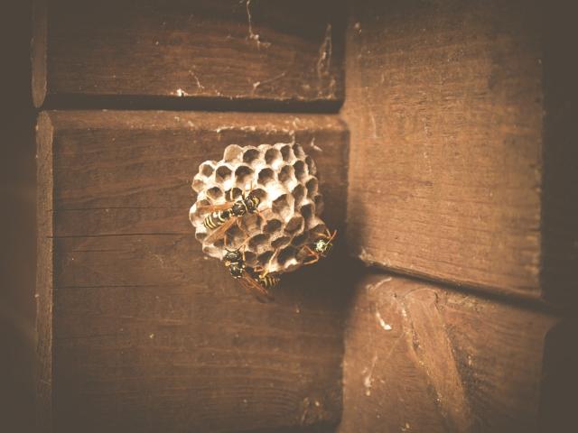 Wespennest entfernen zerstören oder umsiedeln kein guter Gedanke Wespennest an Holzwand