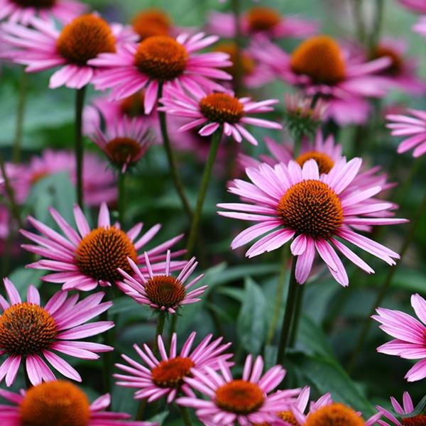 echinacea pflanze pflegetipps