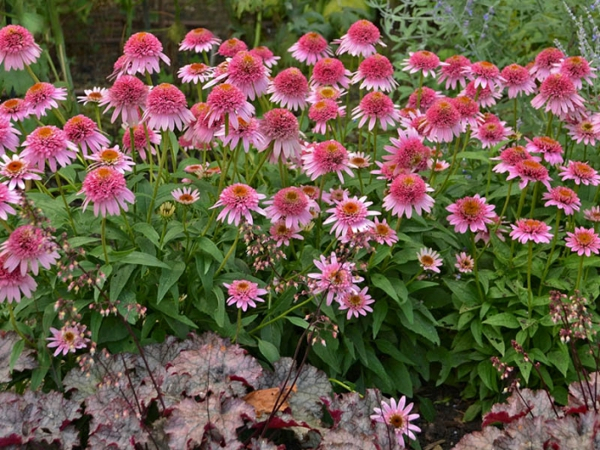 echinacea pflanze sorte purpurea